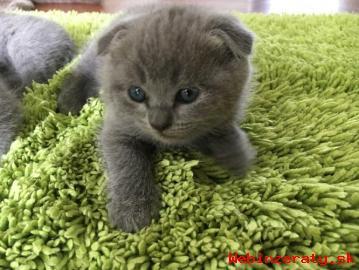 škótsky fold mačiatko na predaj