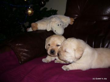 Žlté šteniatka labradora s PP