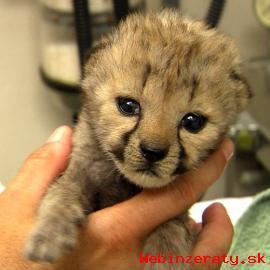 samec a samica detské tigre a gepard ml