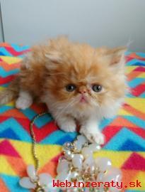 Perzské mačiatka na predaj