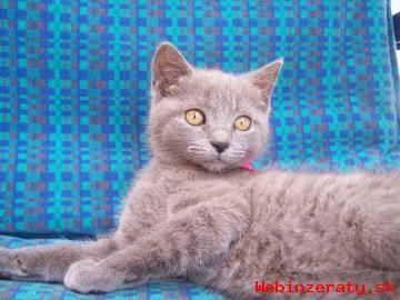 Britské modré mačiatka
