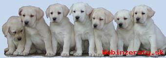 Labrador retriever šteniatka s PP