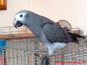 ukecaný papagáj sivý potrebuje domov.