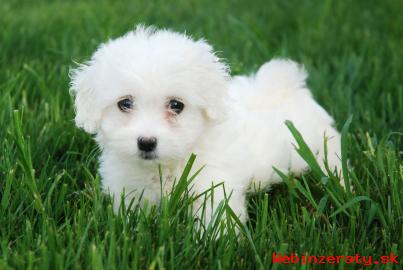 Predám šteniatka Pudle