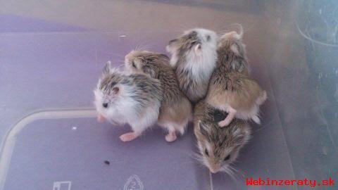 Predaj zakrslích králikov a škrečkov