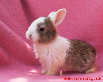 predám zakrslých králikov