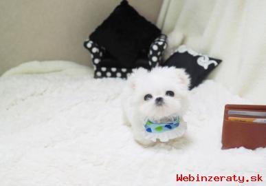 špičková kvalita Maltese šteňa na preda