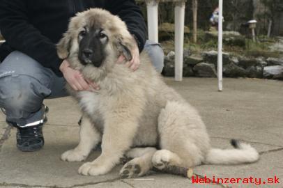 kaukazský ovčiak - štěně s PP FCI
