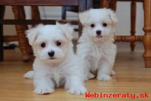 Krásne hľadáte vynikajúce maltskom šteňa