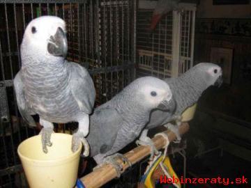 Rozkošný Africké šedé papoušci pro prode