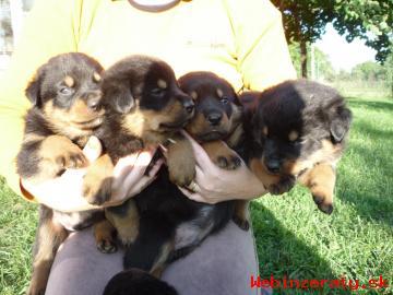 Predám šteniatka Rotvajlera - psíkov a f