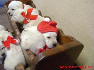 Predam šteniatka Labradorov