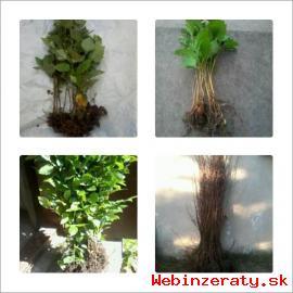 Sazenice borovic, bříza, olše, jasan, ja