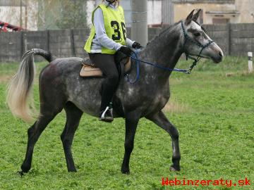 Žrebec shagya araba