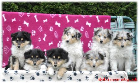 Kólia dlhosrstá - šteniatka