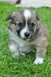 Darujem krasne šteniatko!