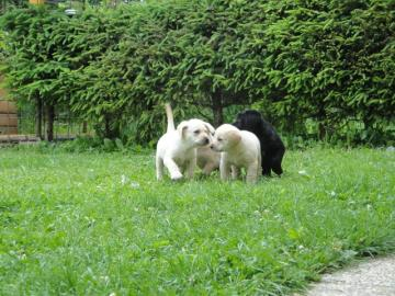 Darujeme šteniatka labradora