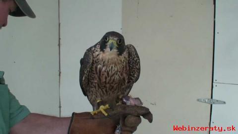 Peregrines Ptáci Pro Prodej