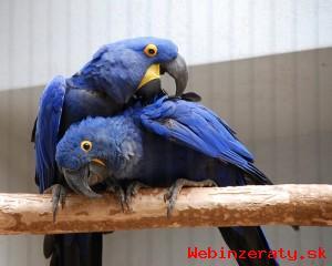 Sladké Hyacint papoušek papoušci