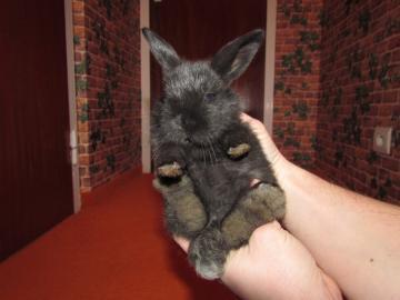 Predám zakrslé zajačiky