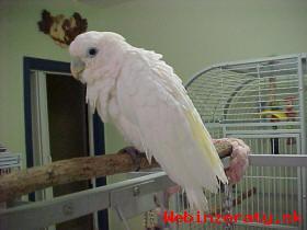 Prodám Deštník kakadu papoušci