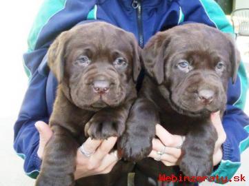 Labrador – čokoládové šteniatka s PP