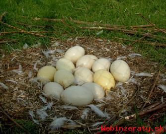 pštrosie kurčatá a úrodné vajcia na pred