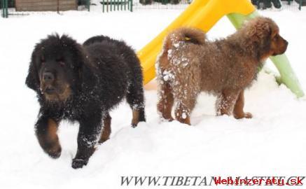 Tibetská doga červená štěňátka s PP