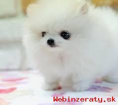 K nezaplateniu White Pomeranian šteňa pr