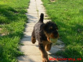 Erdelterier (airedale terrier), štěňata