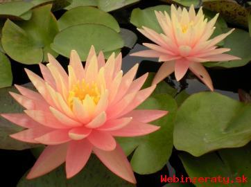 LEKNO - lekná a vodné rastliny