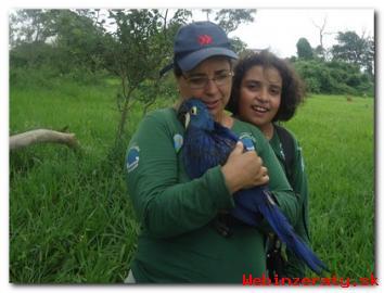 Hyacint Papoušek Pro Prodej