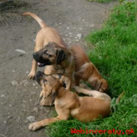 Perro de presa canario - Kanárská doga