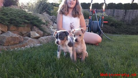 American hairless terrier s PP