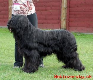 Briard - černá štěňata s PP