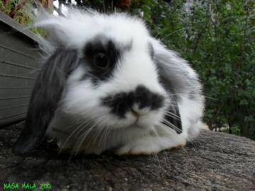 Zakrslý králik - LEVÍK - BARAN