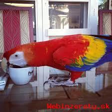 Zlaté a Modré papoušek deti na prodej