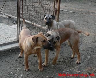 Perro de  presa canario / Kanárská doga