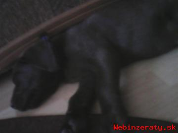 Čokoládový labrador