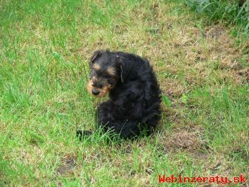 Airedale terrier, štěně s PP