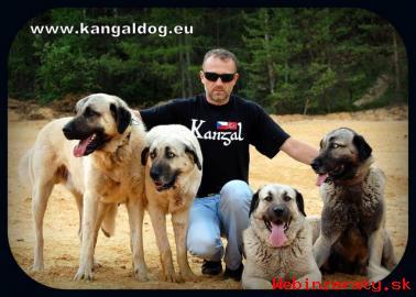 Anatolský pastevecký pes /kangal/ s PP--