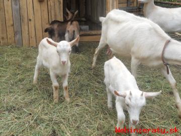 chovné kozy