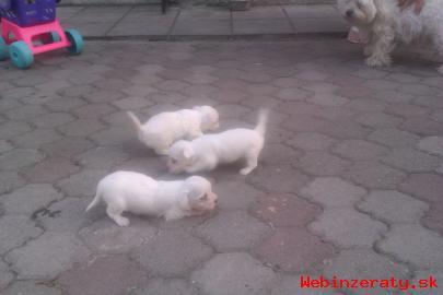 Maltézky psík