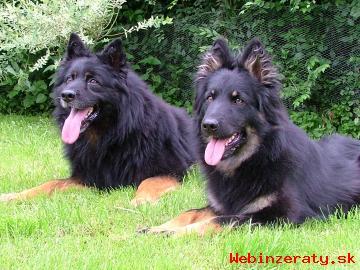 CHodský pes ---štěnata