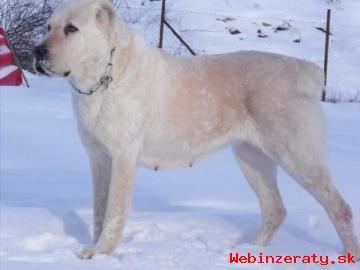 středoasijský pastevecký pes ( SAO )