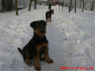 Airedale terrier, štěňata s PP
