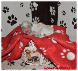 Barzoj - Ruský chrt - šteniatka
