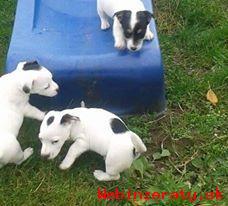 jack russel terrier steniatka na predaj