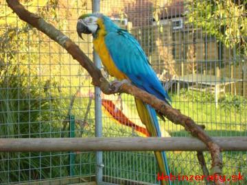 Prodám Papoušek Papoušci