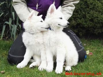 Biely švajčiarsky ovčiak šteniatka s PP